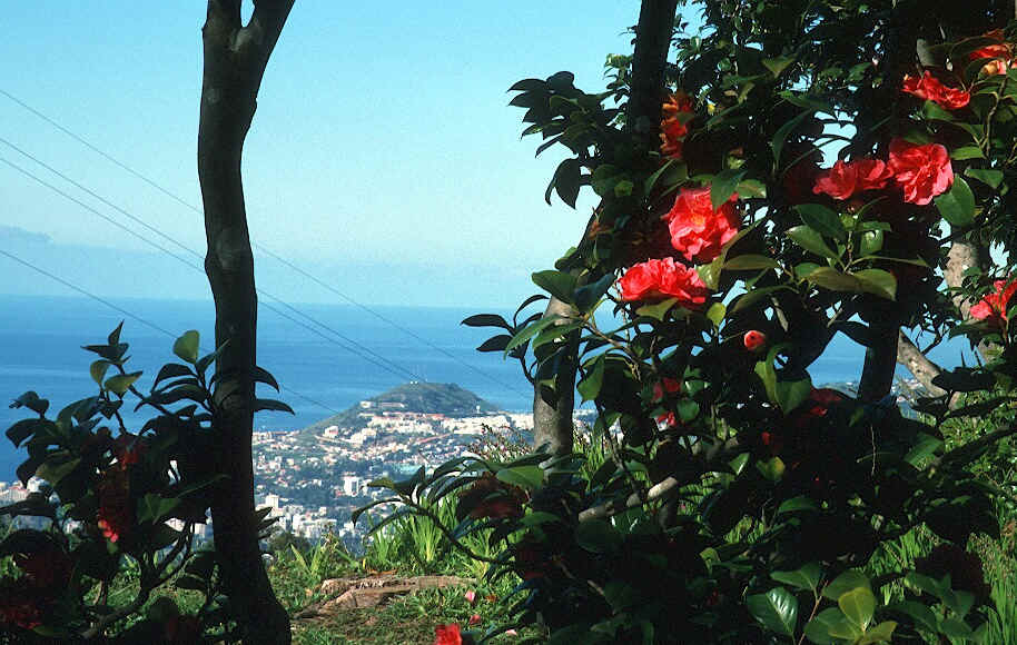 Camelias in Funchal
